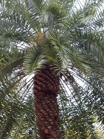Cliff Date Palm Tree (phoenix rupicola) #PA-P-RUPI