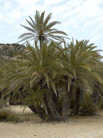 Cretan Date Palm Tree (phoenix theophrasti) #PA-P-THEO