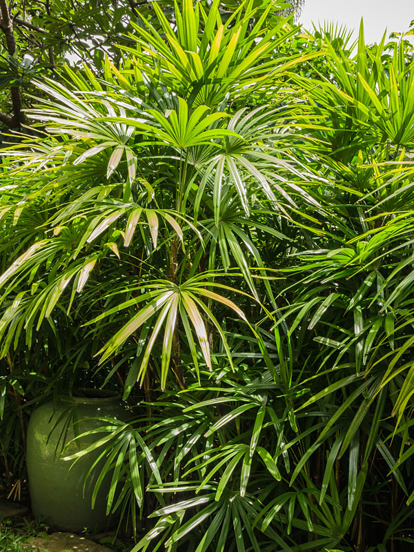 Clustering Lady Palm Rhapis Excelsa Urban Tropicals