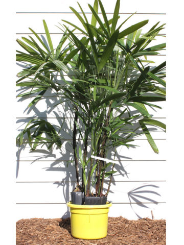 Clustering Lady Palm (rhapis excelsa) #PA-R-EXCE