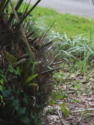 Cold Hardy Needle Palm Tree (rhapidophyllum hystrix) #PA-R-HYST