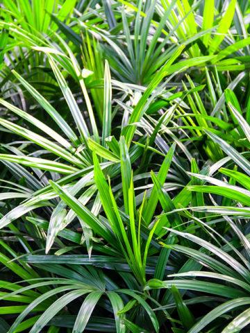 Clustering Finger Leaf Lady Palm (rhapis excelsa) #PA-R-MULT