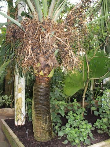 Bermuda Palmetto Palm Tree (sabal bermudana) #PA-S-BERM