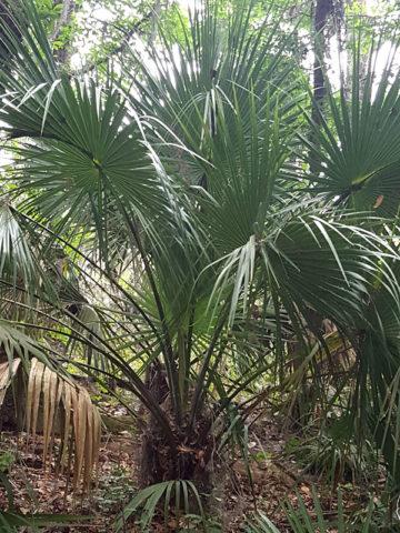 Dwarf Blue Palmetto Palm Tree (sabal minor) #PA-S-MINO