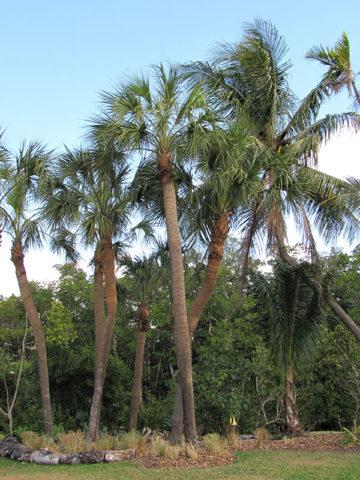 Cabbage Palmetto Palm Tree (sabal palmetto) #PA-S-PALM