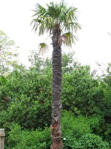Cold Hardy Wind Mill Palm Tree (trachycarpus fortunei) #PA-T-FORT