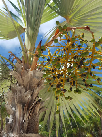 Caribbean Thatch Palm Tree (thrinax radiata) #PA-T-RADI