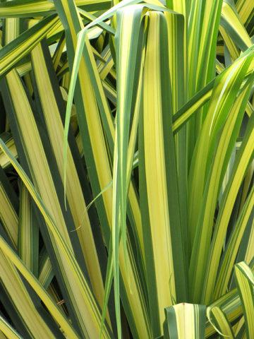 Baptistii Variegata Pandanus Plant #PAN-BAV