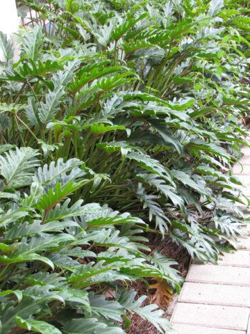 Philodendron Deja Vu Plant #PHI-DVU