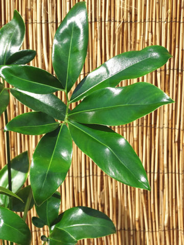 Philodendron Hawaiian Finger Leaf Plant #PHI-FLE