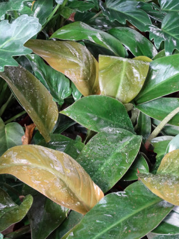 Philodendron Imperial Red Plant #PHI-IMR