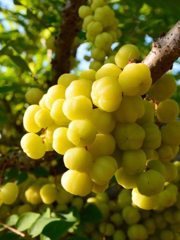 Indian Gooseberry Tree, Malacca Emblic (phyllanthus emblica) #PHY-EMB