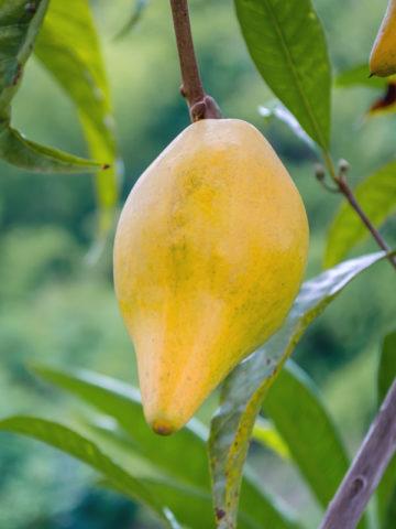 Canistel Eggfruit (pouteria campechiana) #POU-CCA