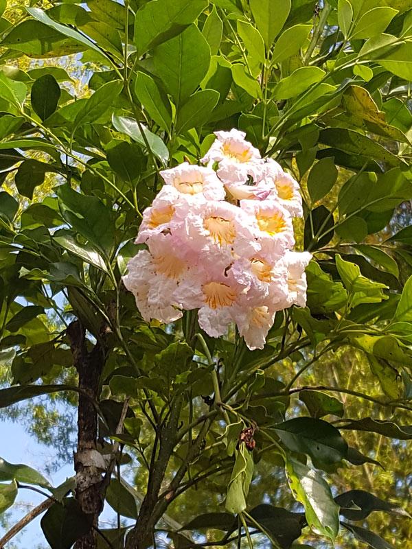 Dwarf Jasmine Tree Peep Thong Radermachera Kunming