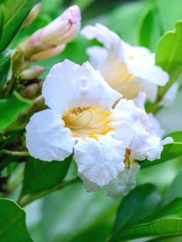 Dwarf Jasmine Tree Peep Thong (radermachera kunming) #RAD-KUN