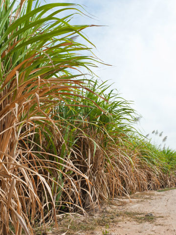 1 Random Sweet Hawaiian Sugarcane Plant #SAC-HSP