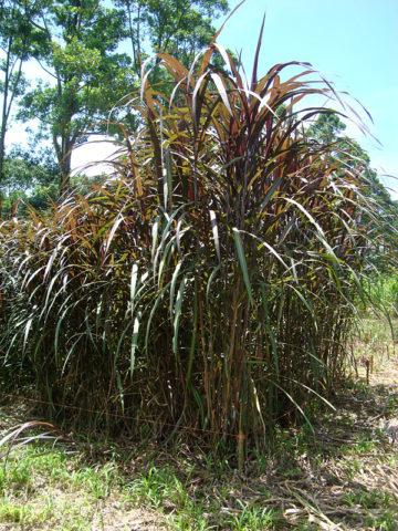 Hawaiian Goddess Peles Smoke Sugarcane Plant #SAC-PEL
