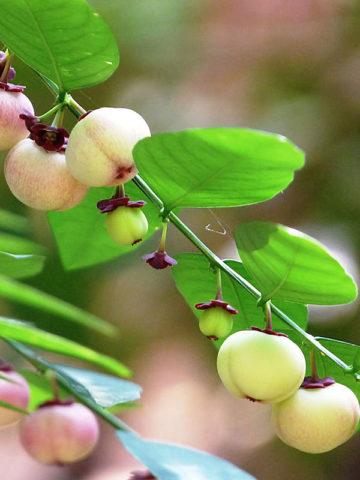 Katuk Sweet Leaf Plant (sauropus androgynus) #SAU-ANL