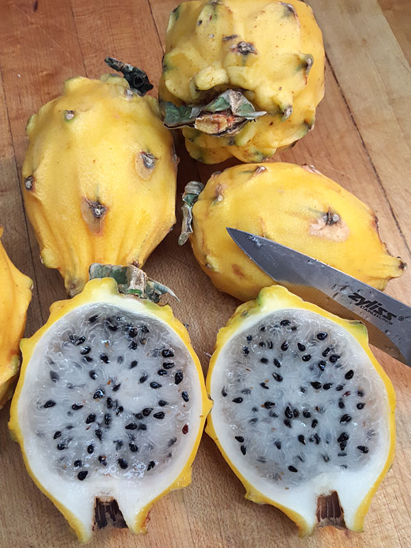 Dragon Fruit 2 Plants FREE SHIPPING-Yellow-Selenicereus megalanthus