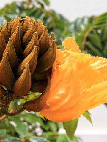 African Gold Tulip Tree (spathodea campanulata) #SPA-CAG