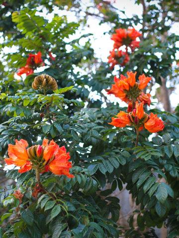 African Tulip Tree (spathodea campanulata) #SPA-CAM
