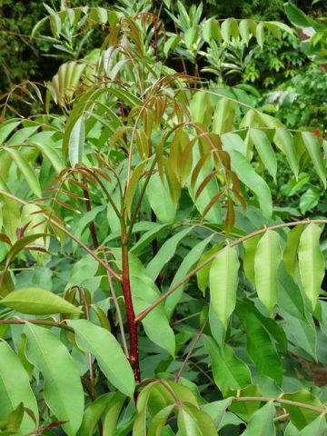 Wild Mango Pulicha Kaai Amate Tree (spondias pinnata)