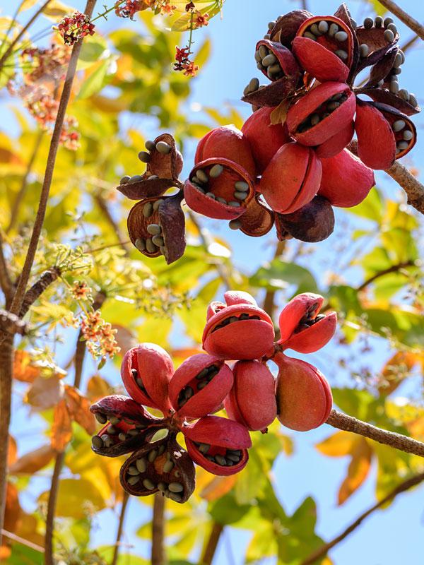 Sterculia foetida Seed Wild Almond,Java Olive Tree,wild Indian Almond tree 10-50 seeds pack for growing.