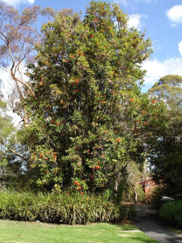 Australian Firewheel Tree (stenocarpus sinuatus) – Urban ...