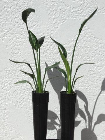 Leafless Bird of Paradise Plant (strelitzia juncea) #STR-JUN