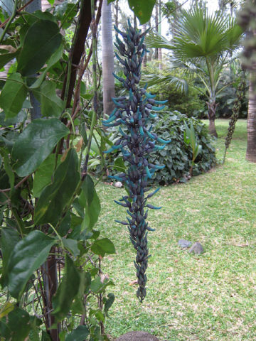 Blue Jade Vine (strongylodon macrobotrys) #STR-MAC