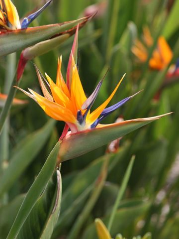 Tahitian Orange Bird of Paradise Plant (strelitzia reginae) #STR-OBP