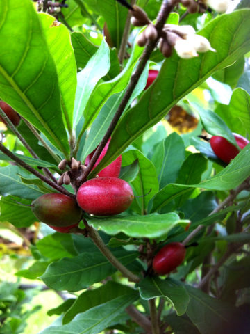 Miracle Fruit Tree (synsepalum dulcificum) #SYN-DUL