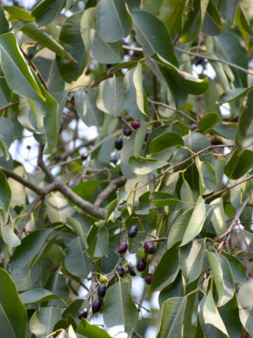 Black Java Plum Tree (syzygium cumini) #SYZ-CUM