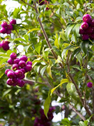 Blue Lilly Pilly Tree (syzygium oleosum) #SYZ-OLE