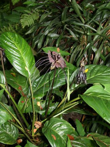 Black Bat Flower Plant (tacca chantrieri) #TAC-CHA