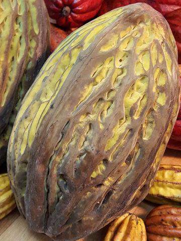 Mocambo Jaguar Cocoa Tree (theobroma bicolor) #THE-BIC