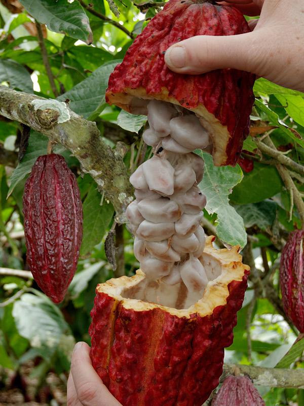 Real Chocolate Tree  Theobroma Cacao   U2013 Urban Tropicals