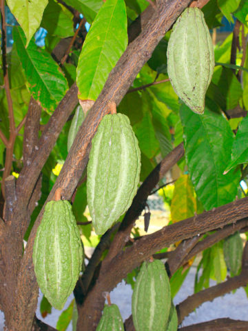 Real Chocolate Tree (theobroma cacao) #THE-CAC