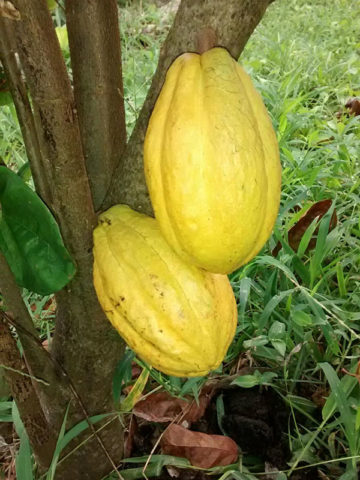 Hardy Round Leaf Chocolate Tree (theobroma cacao jaca) #THE-JAC