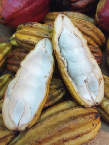 Wild Colombian Cocoa Tree (herrania umbratica) #THR-UMG